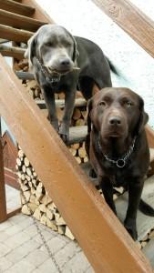 unsere Labrador-Hündinnen