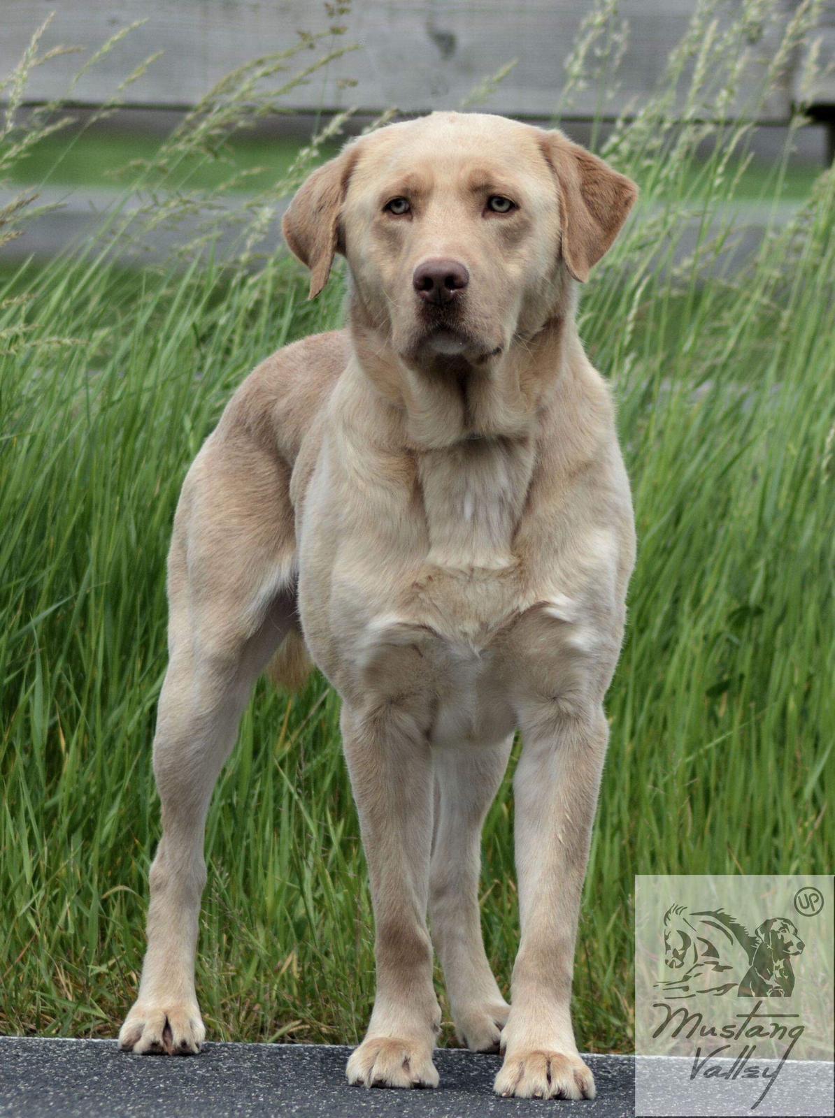 unsere hunde  labrador retriever thüringen